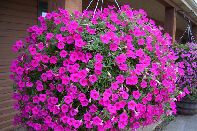 Akasztós virágok
