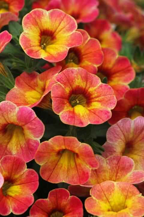 Petunia Chameleon Atomic Orange