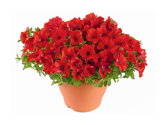 Petunia Surfinia Trailing Red